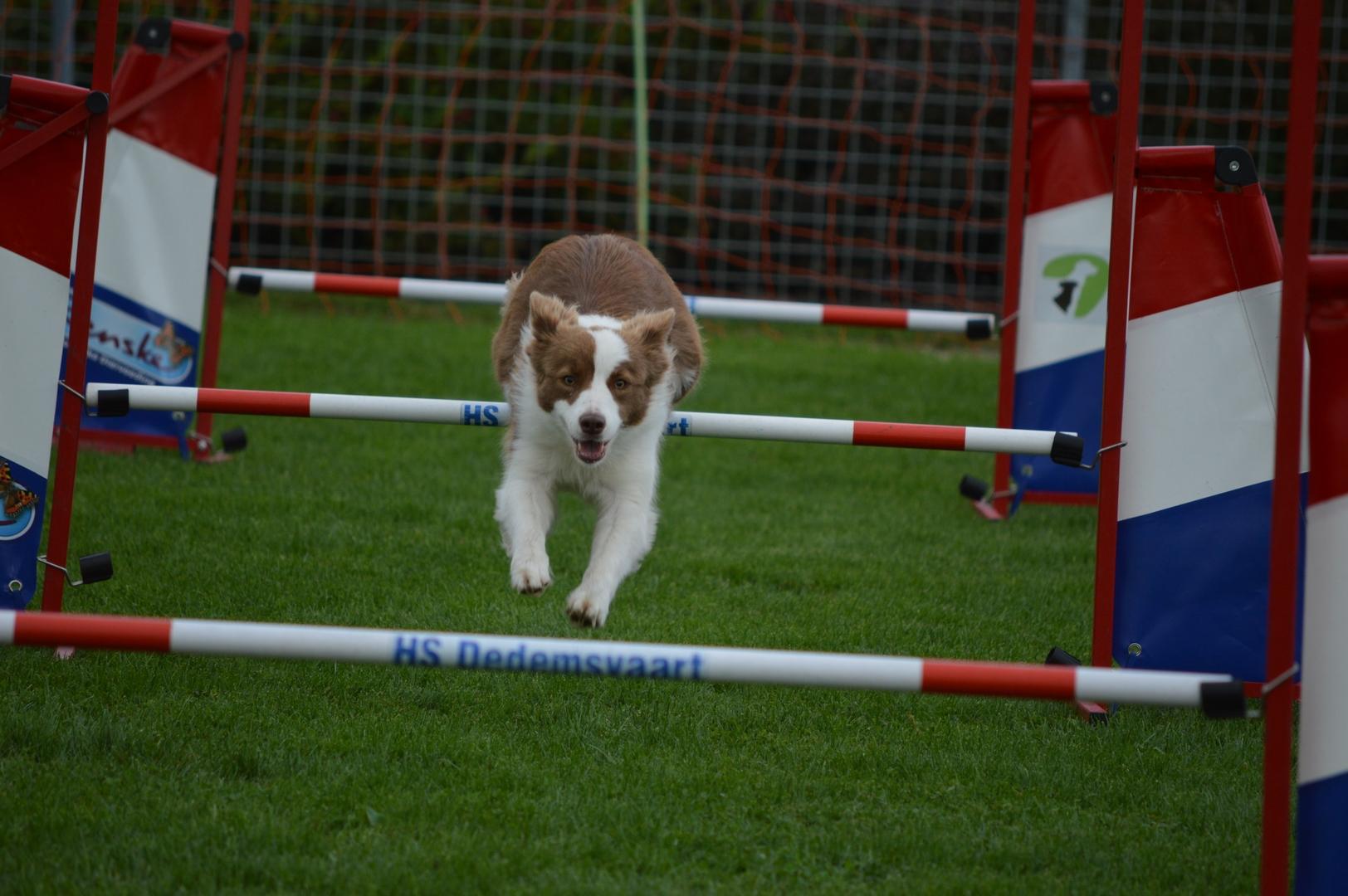 Behendigheid Hondenschool Dedemsvaart